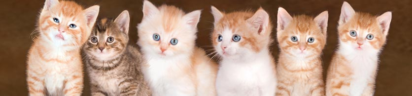Kittens Cheshire Cat Clinic, the premier provider of feline-exclusive veterinary care in San Diego, California